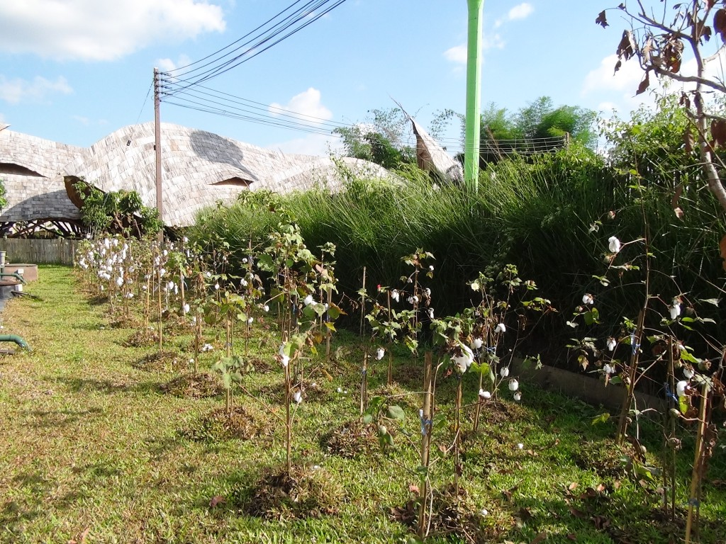 Self-sufficiency project (cotton) by Panyaden School in Chiang Mai