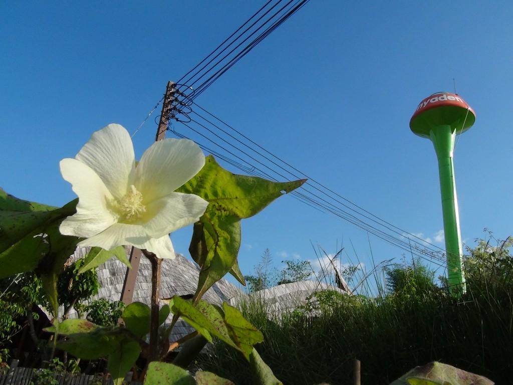 Cotton flower growing on the grounds of Panyaden School