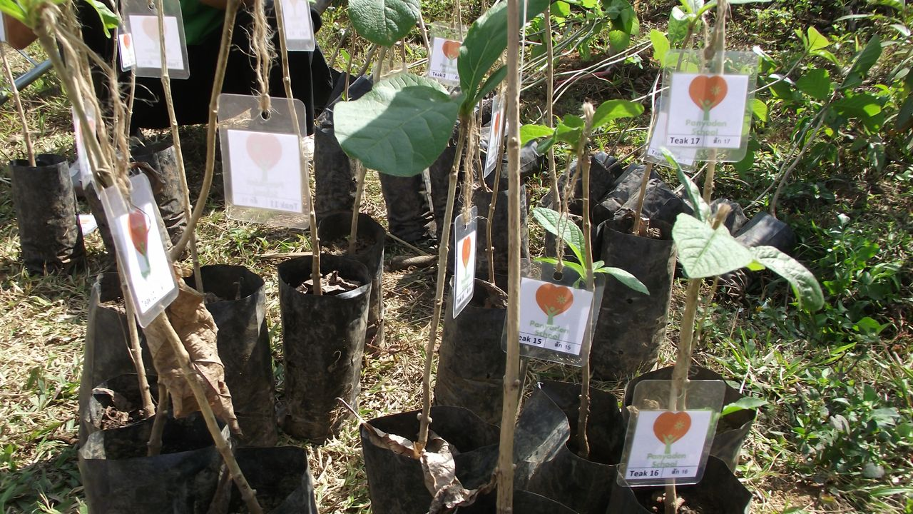 Teak and gmelia tree saplings to be planted by Panyaden School in Chiang Mai