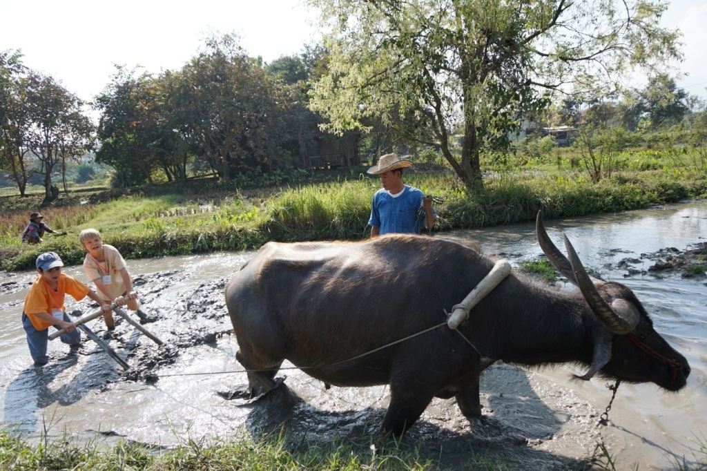 Panyaden School Prathom students driving a buffalo ploughing a rice field