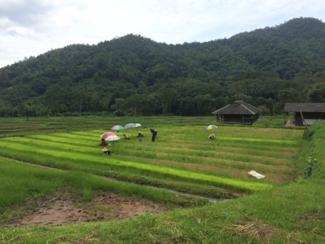 IMG_9458 Organic rice planting for Panyaden International School. Farm in Mae Taeng, Chiang Mai
