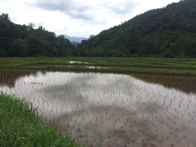 IMG_9460 Planting rice at Mae Taeng organic farm for Panyaden International School, Chiang Mai