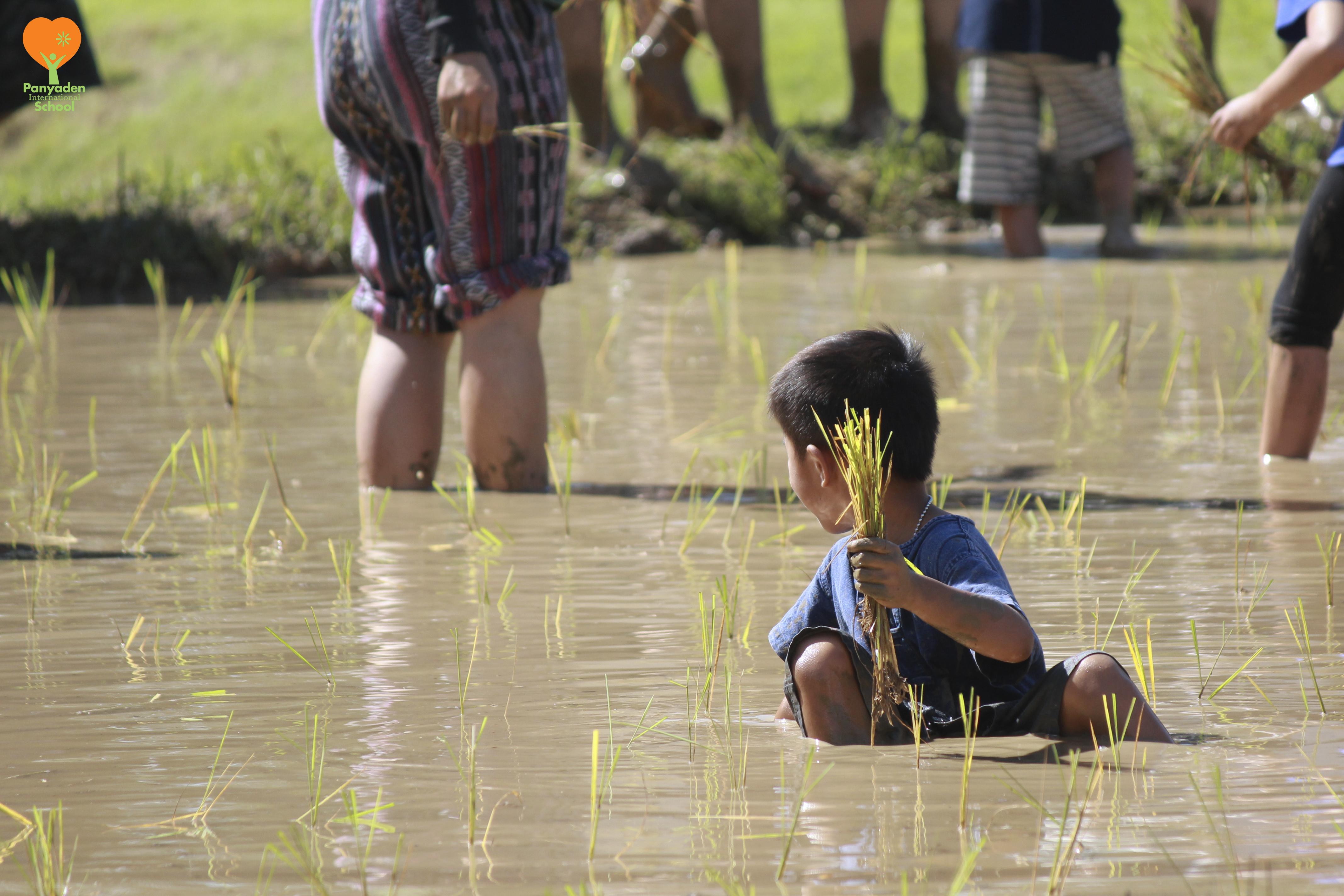 Immersed in mud! Rice planting at Panyaden International School