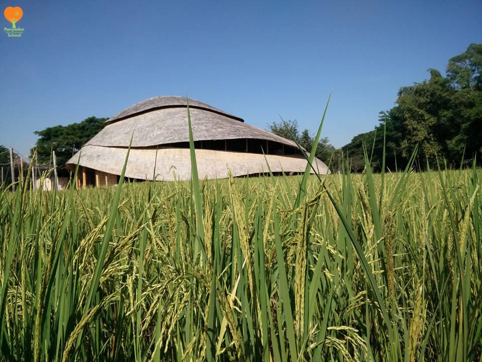 logo-ota-1 Panyaden International School - rice ready for harvesting