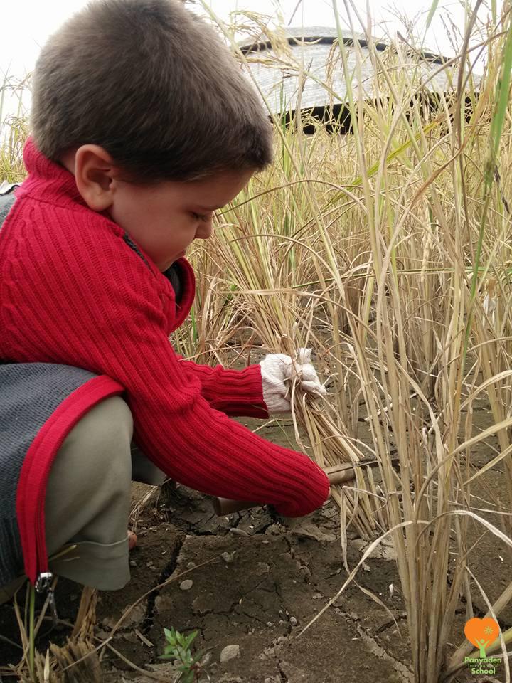 Panyaden Year 1 Life Skills Class: Harvesting, life of a rice farmer