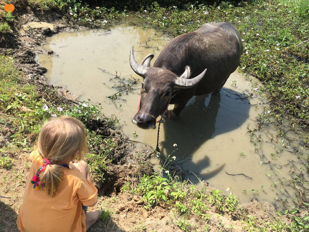 Panyaden student and buffalo eye each other curiously