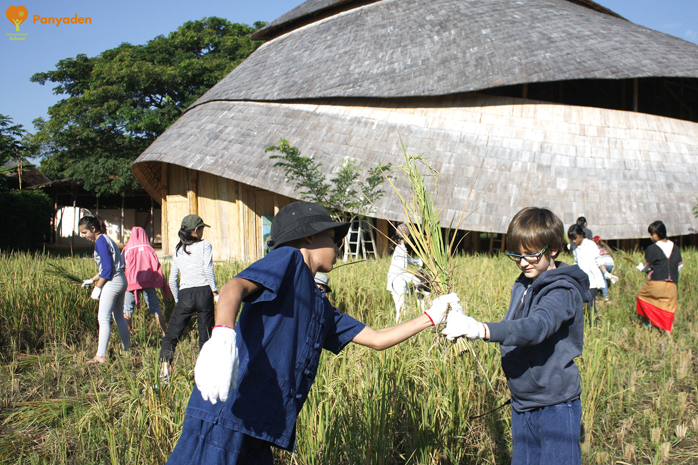 Teamwork. Panyaden Life Skills class - Y6/7 students harvest rice together